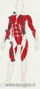 ماهیچه های بدن